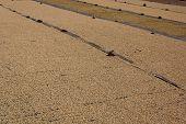 Drying Coffee Beans At The Farm Near Lake Atitlan
