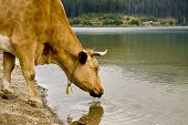Cow Drinking From Lake