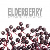 stock photo of elderberry  - The Elderberry Sambuscus Nigra - JPG