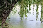 picture of weeping willow tree  - weeping willow trees reflected on a river - JPG