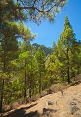 pic of pinus  - Gran Canaria inland endemic pine Pinus canariensis grows on mountainsides - JPG