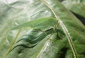 Green arthropod