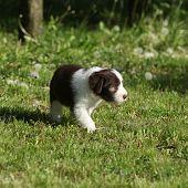 Bearded Collie Running In The Garden