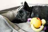 Scottish Terrier Sleeping