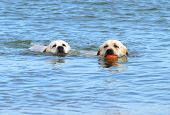 Labradors Swimming In The Sea With A Ball