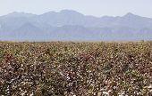 image of ethiopia  - Cotton field near Weita - JPG