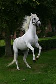 stock photo of white horse  - A portrait of an arabian grey horse rearing in a garden - JPG