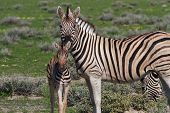Curious Young Zebra And Her Mother