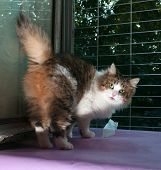 Tricolor Fluffy Cat Standing On Window Sill On Background