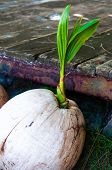 Close-up View Of Coconut Sprout