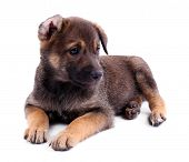 Funny puppy isolated on white