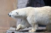 White Polar Bear  In The Zoo