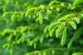 Young shoots are spruce