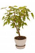 pic of begonias  - decorative foliage plant begonia on white background - JPG