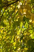 Bright  Yellow And Green  Leaves On The Branches In The Autumn Forest