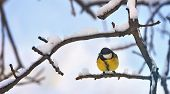 Great Tit (parus Major) In Winter Time