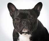 french bulldog portrait - male one year old