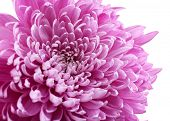 Beautiful chrysanthemum close-up