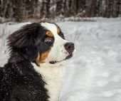 Mountain dog portrait