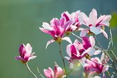 stock photo of japanese magnolia  - Magnolia liliiflora in full bloom - JPG