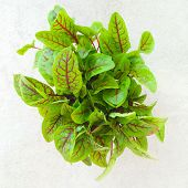 Fresh Green Sorrel Leaves
