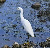 Snowy Egret In Florida Wetlands