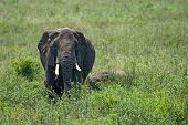 Female African Elephant With A Cub