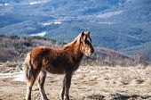 stock photo of mule  - Young highland mule grazing on winter mountain meadow in clear sunny day - JPG