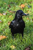 picture of significant  - Black Crow standing in park at autumn - JPG