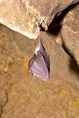 stock photo of greater  - Greater horseshoe bat - JPG