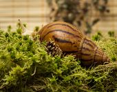 picture of albinos  - Snail - JPG