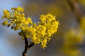 foto of dogwood  - Flowering dogwoods - Cornus mas Cornelian cherry European cornel