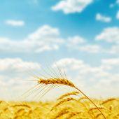 golden harvest close up on field. soft focus