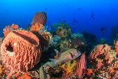 stock photo of harlequin  - Harlequin Sweetlips swimming amongst colorful corals and sponges - JPG