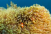 Clownfish in their home anemone