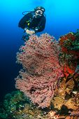 SCUBA diver and sea fan on a tropical reef