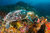 image of hawksbill turtle  - Old Hawksbill Turtle feeding on a tropical coral reef - JPG
