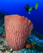 Diver And Large Barrel Sponge