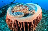 foto of green turtle  - Green Turtle sleeping inside a barrel sponge on a tropical coral reef - JPG