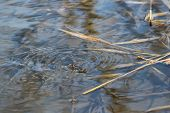 Common Water Strider (Gerris regimis)