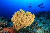 SCUBA divers and coral