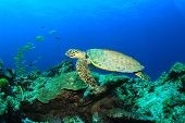 stock photo of hawksbill turtle  - Hawksbill Sea Turtle - JPG