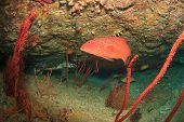 image of grouper  - Coral Grouper fish with Turtle behind - JPG