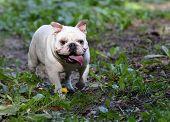 english bulldog outside exercising in the yard