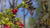 Cowberry, foxberry, lingonberry in close up.