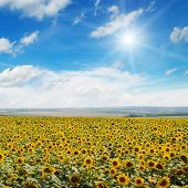 Field Of Sunflowers , Blue Sky And Sun