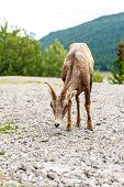 Canadian Mountain Goat