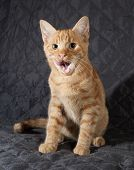Ginger Kitten Sitting And Licked On Black Bedspread