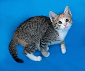 Tricolor Striped Kitten Standing On Blue