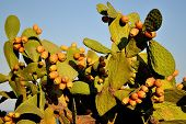 picture of prickly-pear  - A prickly pear cactus full of succulent fruits in Sicily - JPG